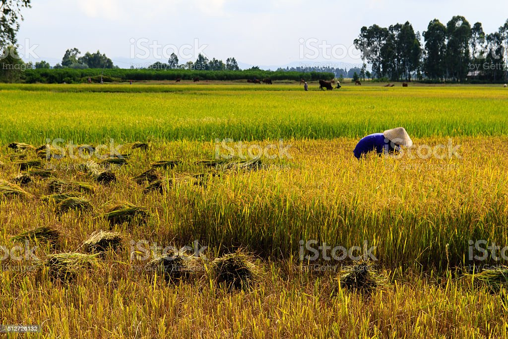 Worker on a rice field in vietnam stock photo
