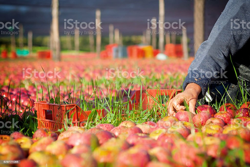 Worker picking apples stock photo