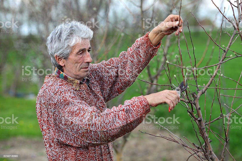 Worker pruning tree in orchard, agriculture stock photo
