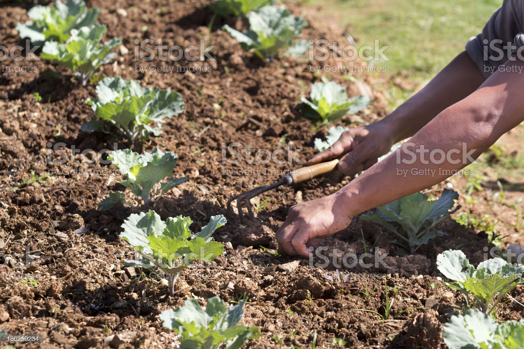 Worker pull out weeds in vegetable garden royalty-free stock photo