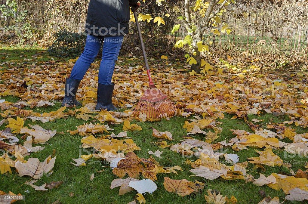 worker rake autumn dry tuliptree leaves in garden stock photo