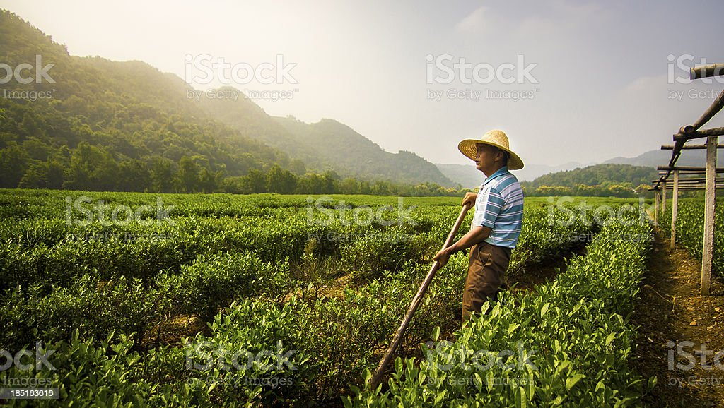 Worker Standing in Longjing Tea Field stock photo