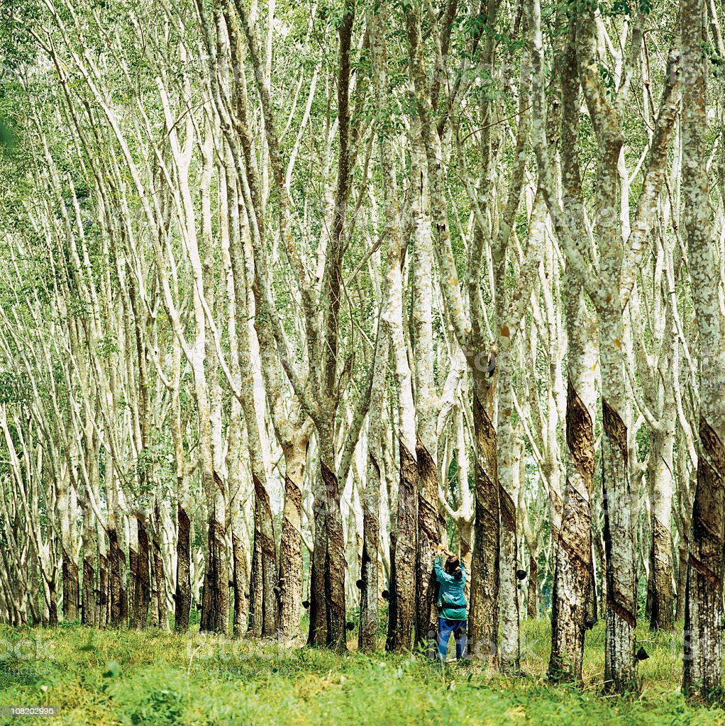 Worker tapping rubber trees in a plantation. stock photo