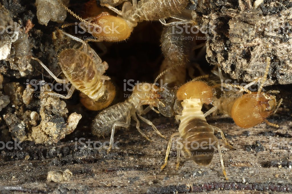 Worker Termites in Situ stock photo