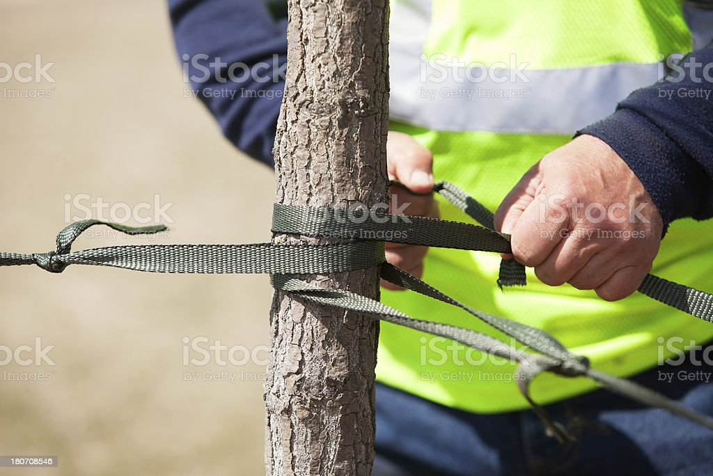 Worker Tying Rope Around Young Tree Trunk stock photo