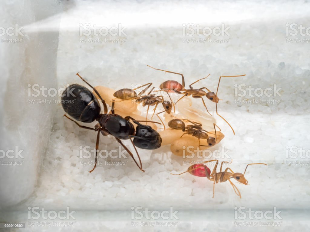 Workers ants are taking care of queen stock photo