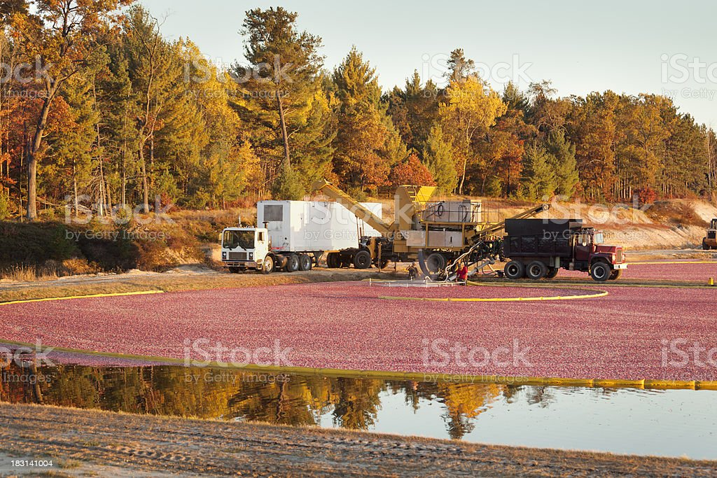 Workers Harvesting Cranberry Marsh in the Wisconsin Field  Morning royalty-free stock photo