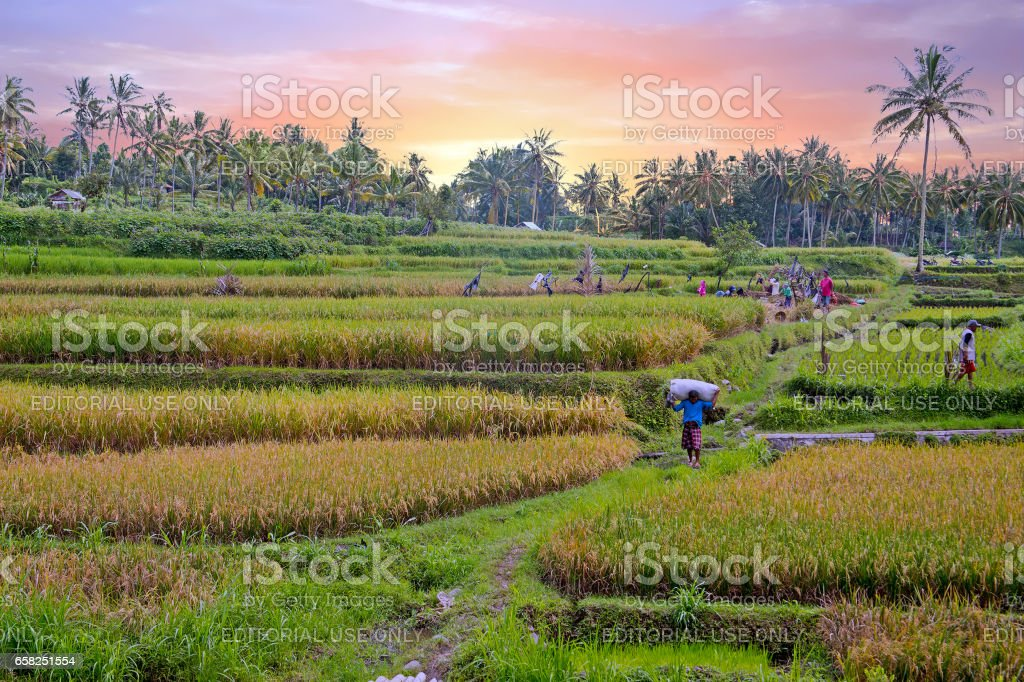 Workers on the land planting rice in the fields of Java Indonesia stock photo