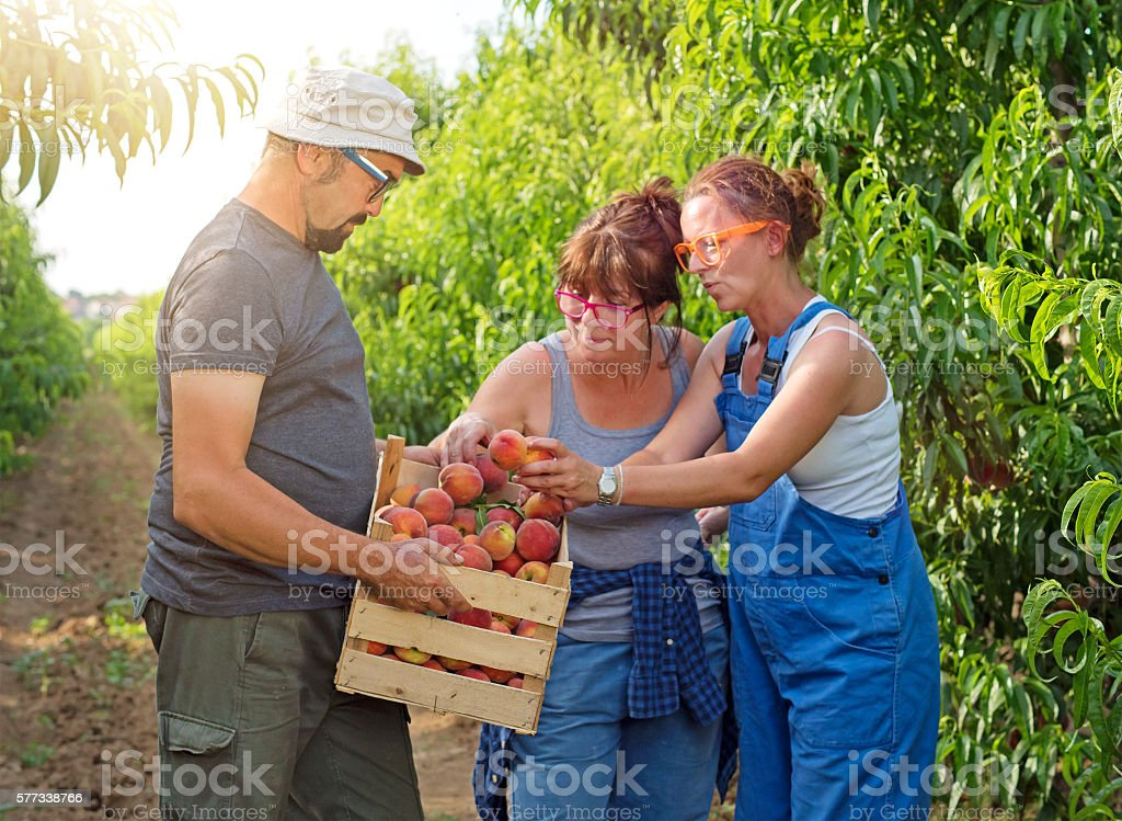 Workers picking peaches in field stock photo