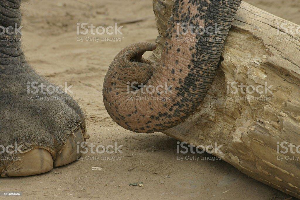 Working African elephant stock photo