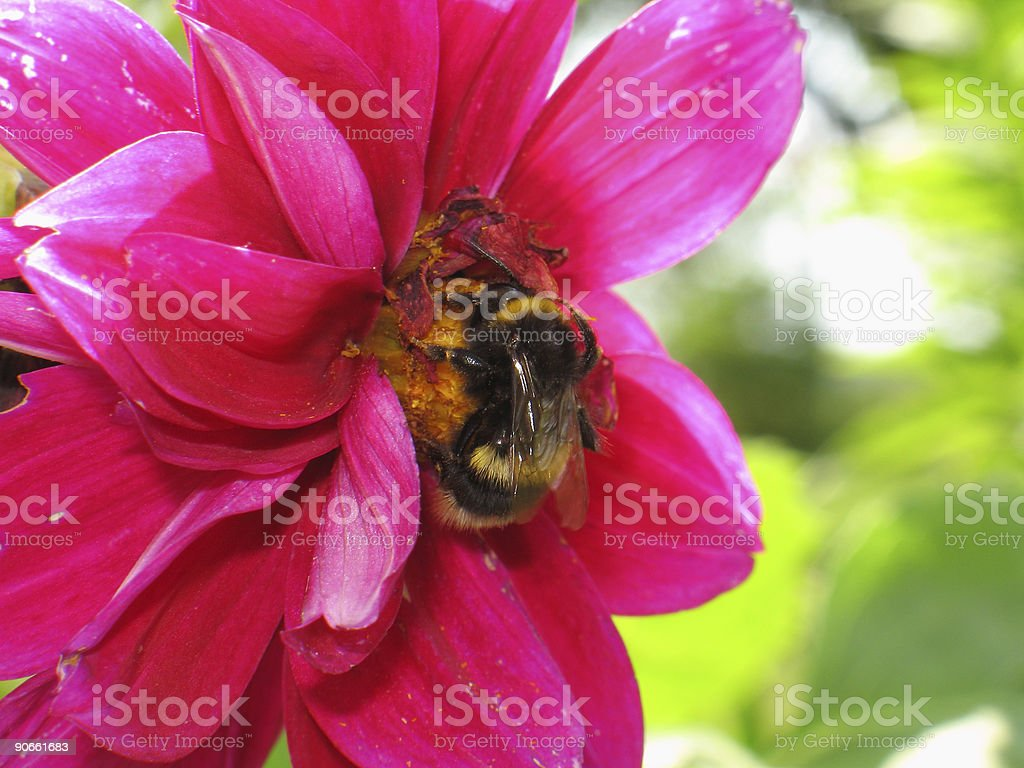 Working bee royalty-free stock photo