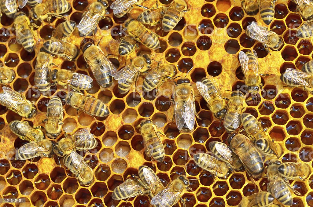 working bees on honey cells royalty-free stock photo