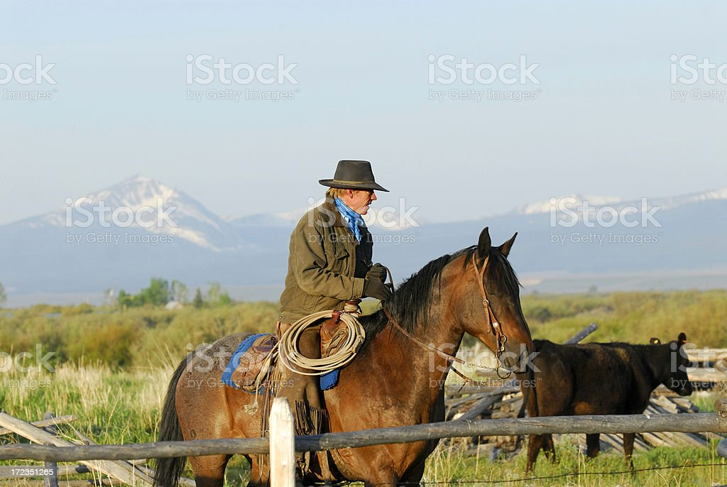 Working Cattle royalty-free stock photo