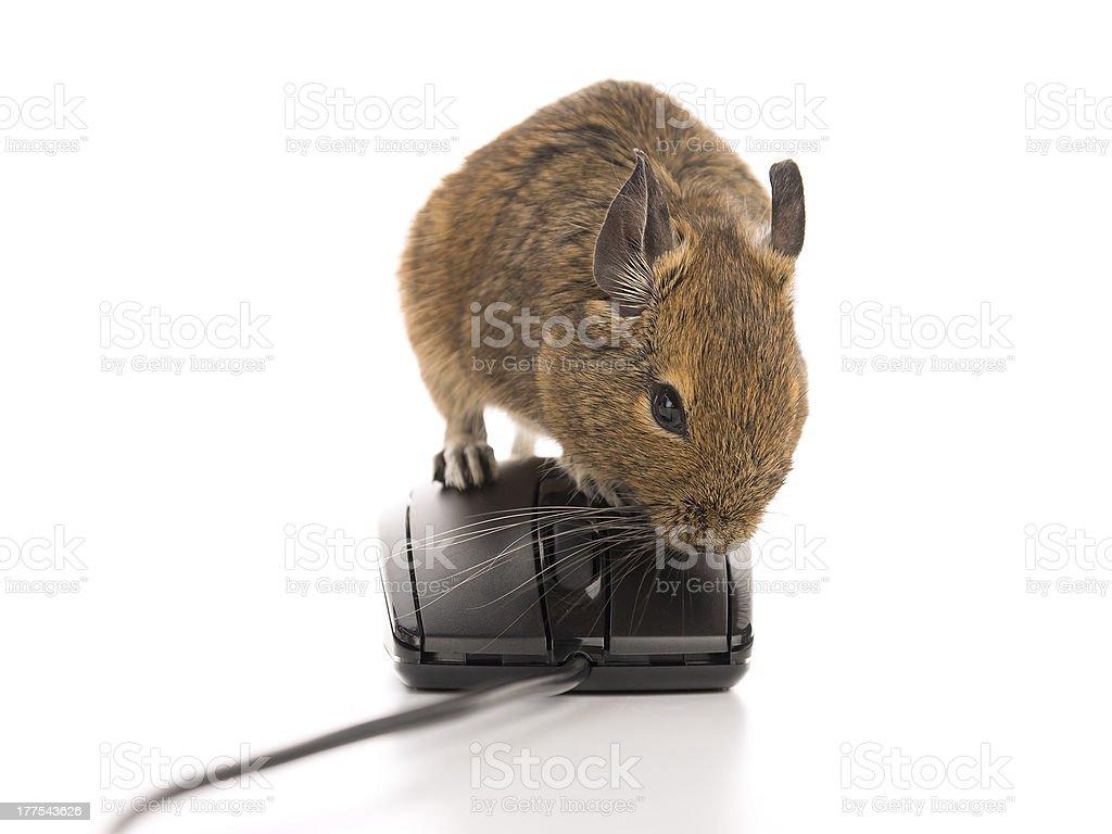 Working Degu mouse royalty-free stock photo