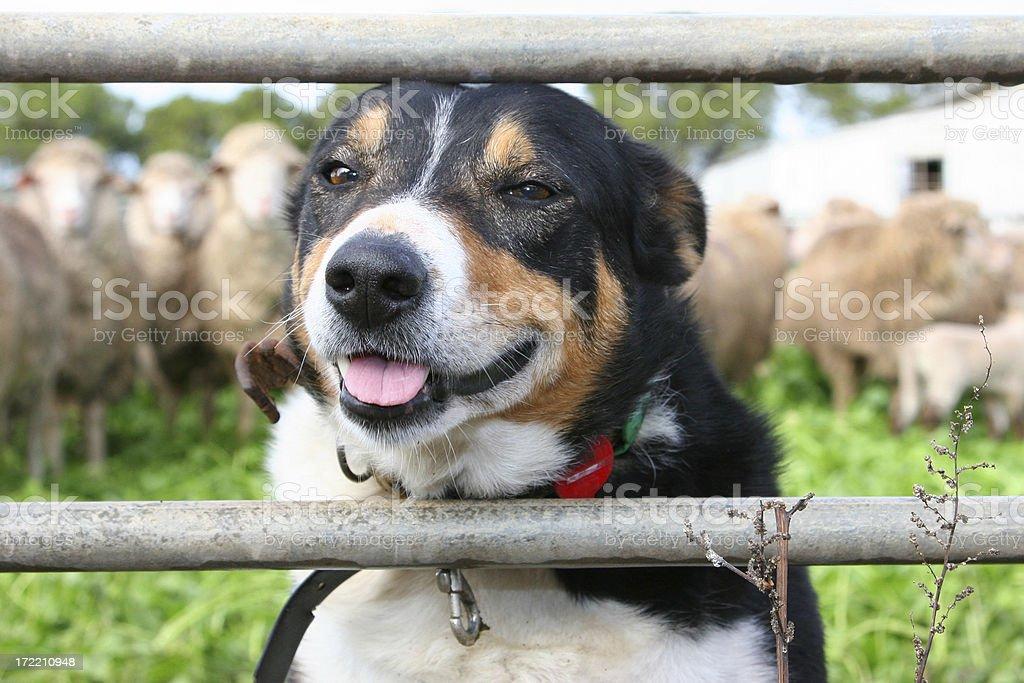 Working Dog stock photo