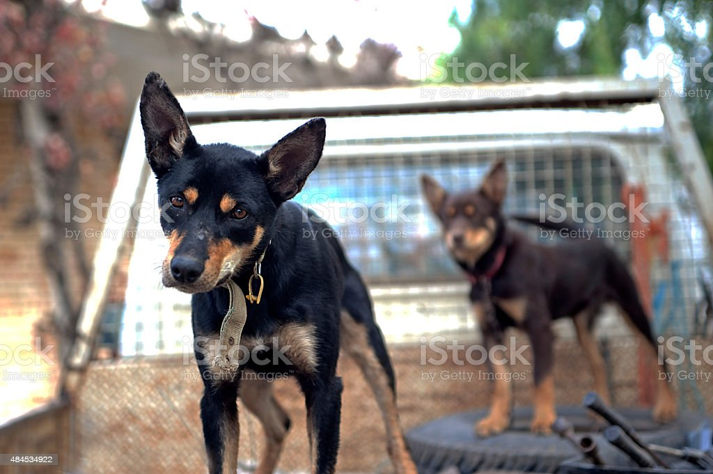 Working dogs stock photo