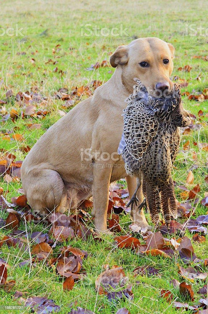 Working golden Labrador royalty-free stock photo