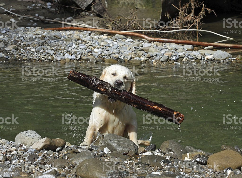 Working Golden Retriever in a river royalty-free stock photo