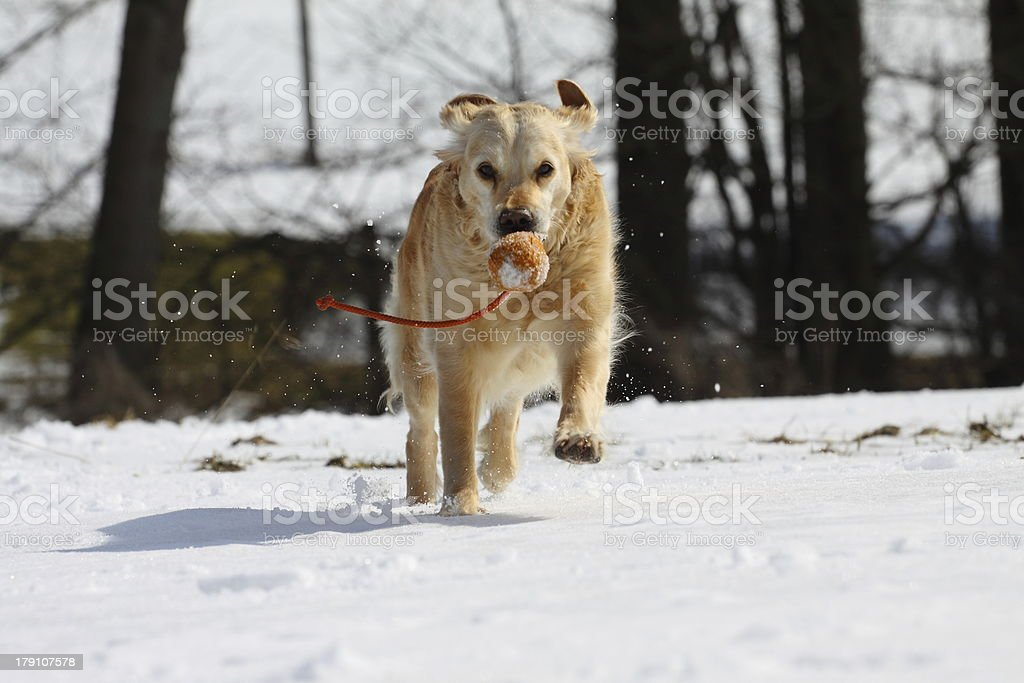 Working Golden Retriever royalty-free stock photo