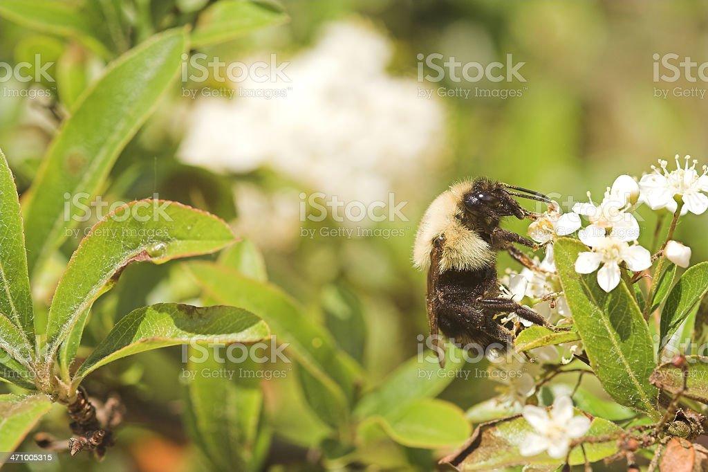 Working Honey Bee stock photo