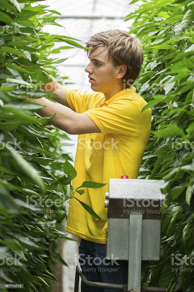 Working in a glasshouse, organic stock photo