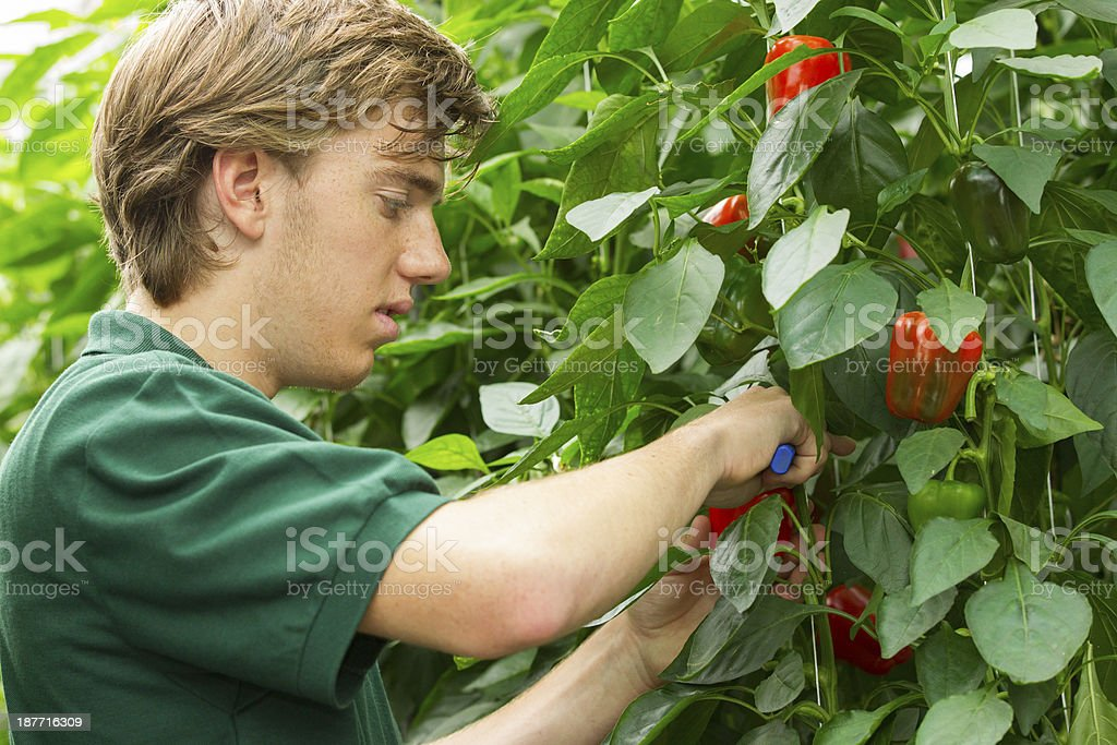 Working in a glasshouse stock photo