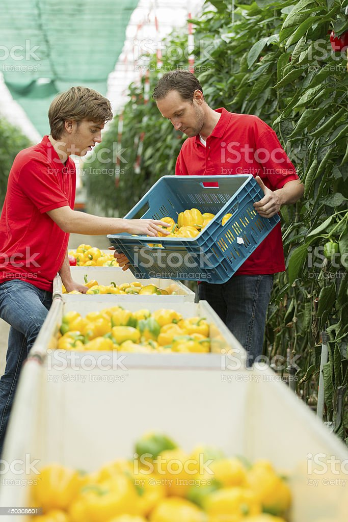 Working in a glasshouse, student job royalty-free stock photo