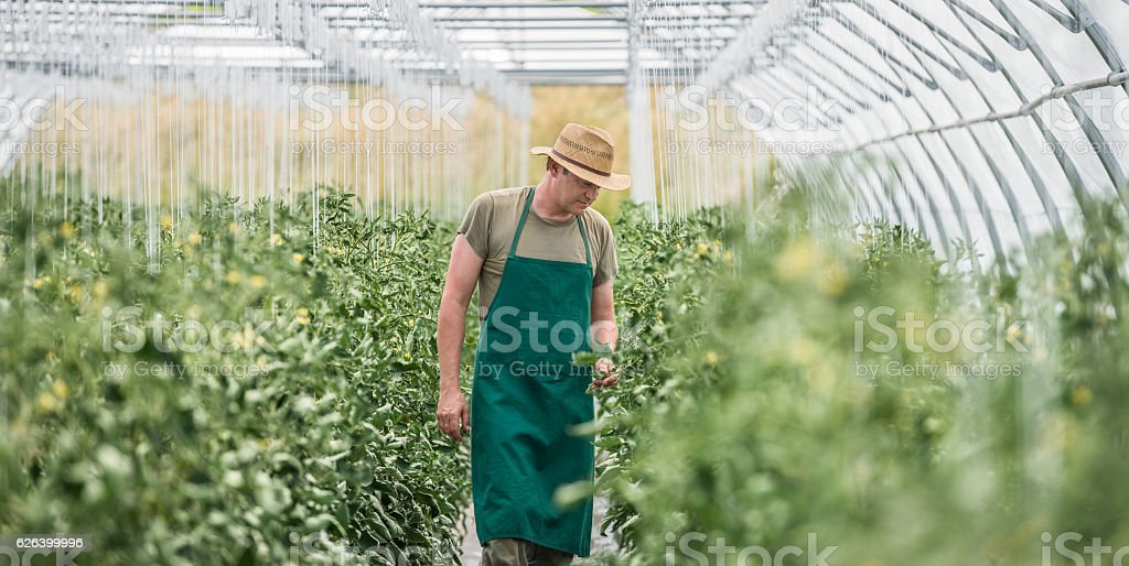 Working In Greenhouse stock photo