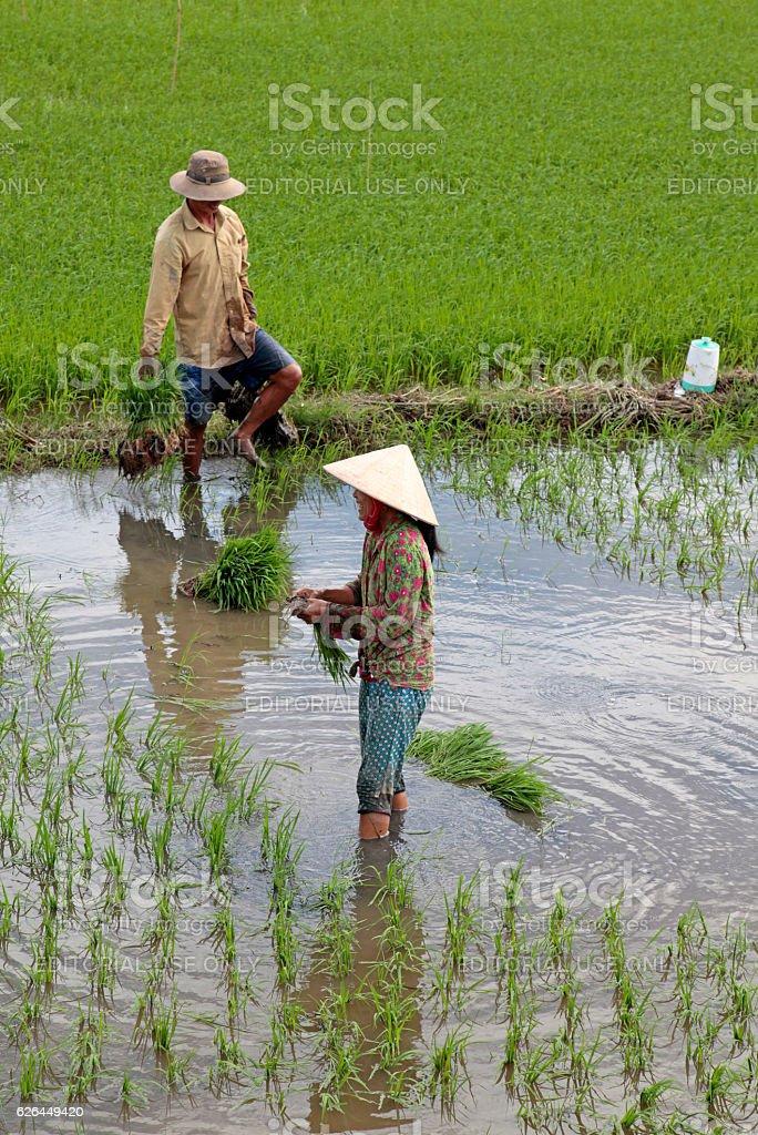 Working in paddy fields, Mekong Delta, Vietnam stock photo