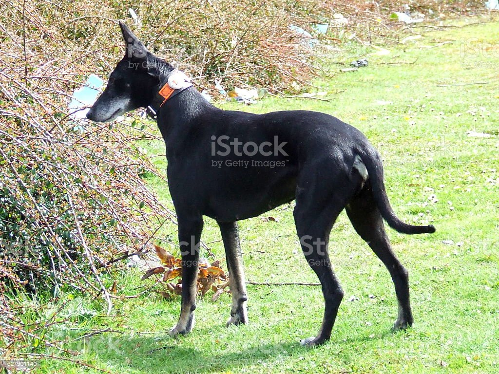 Working Kelpie Whippet Lurcher wearing collar full screen shot stock photo