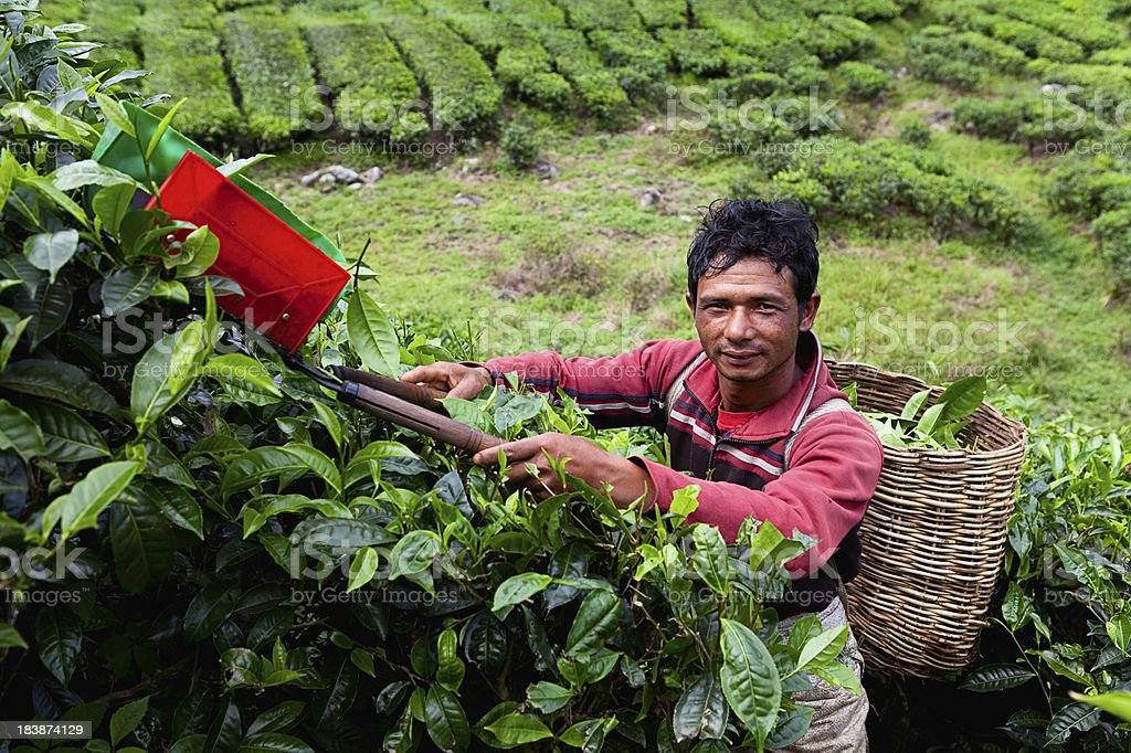 Working on Tea Plantation royalty-free stock photo