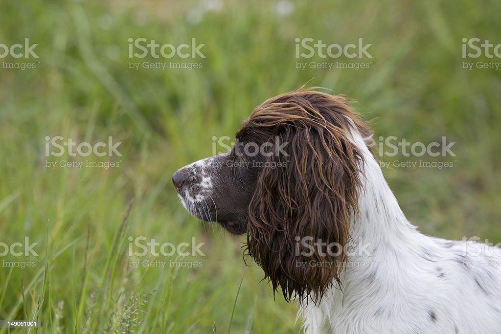 Working Spaniel royalty-free stock photo