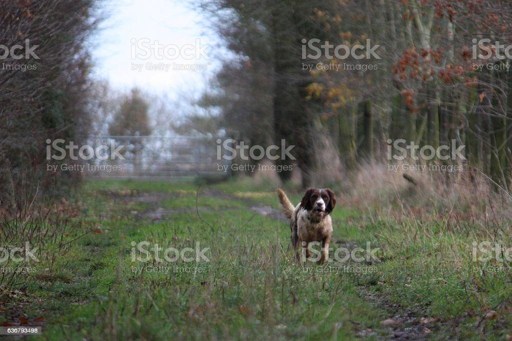 working type english springer spaniel pet gundog running stock photo
