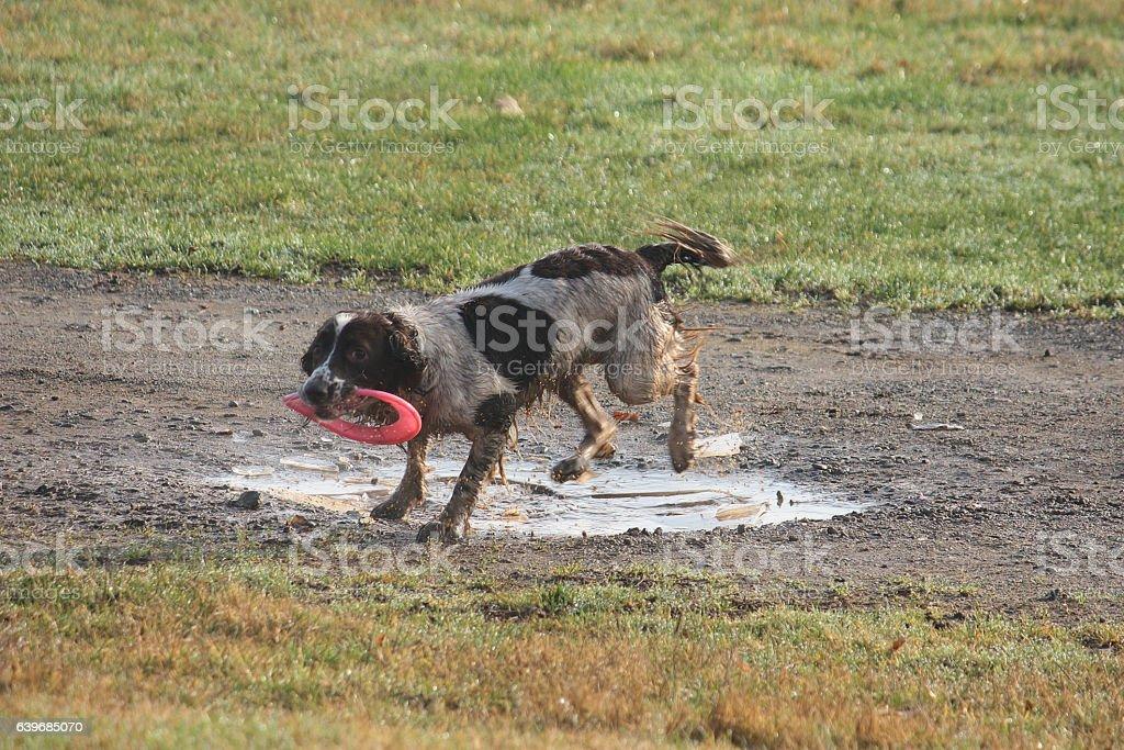 Working type english springer spaniel pet gundog with frisbee stock photo