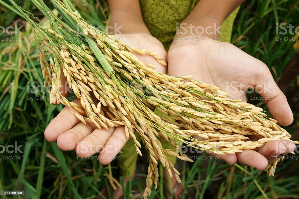 World food security, famine, Asia rice field stock photo