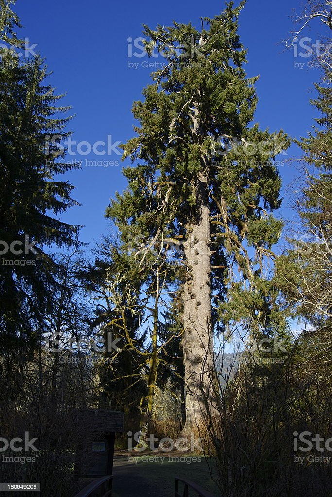 World Record Giant Spruce royalty-free stock photo