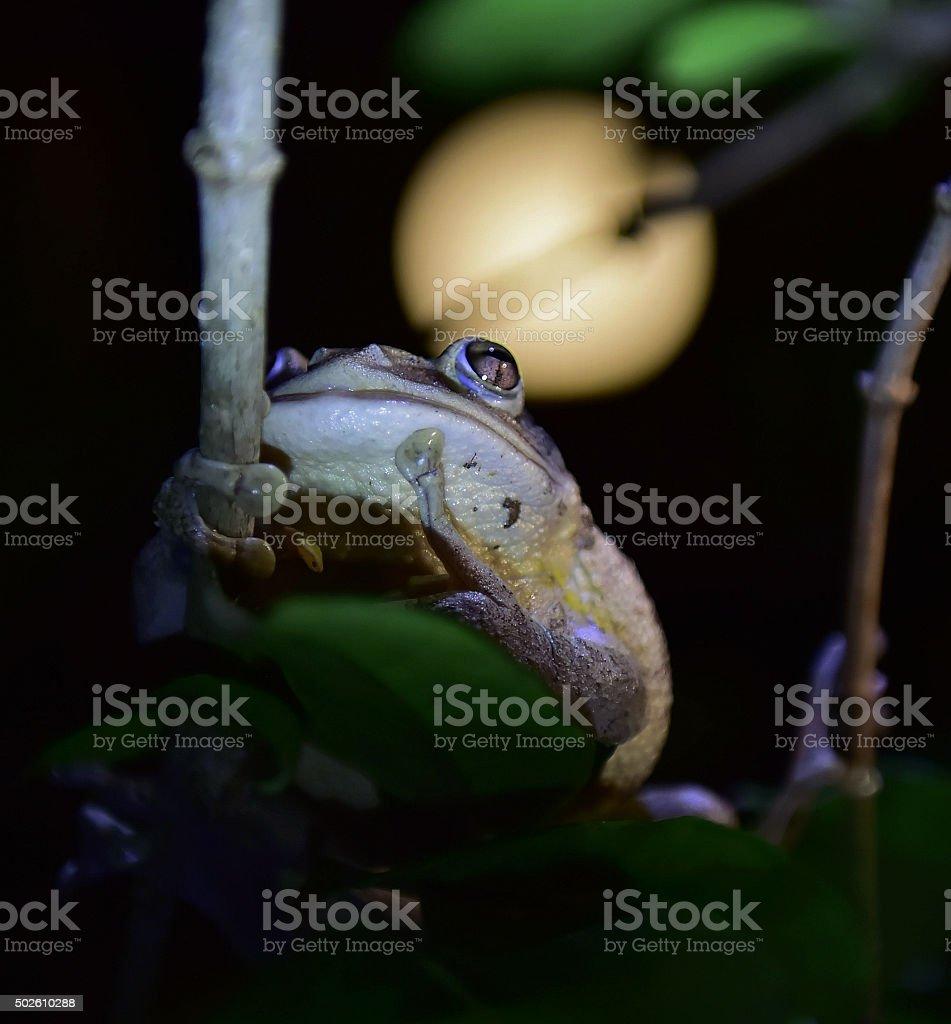 World's Biggest Cuban Tree Frog at night stock photo