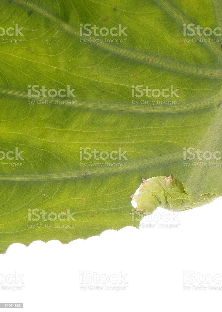 Worm Chewing Leaf stock photo