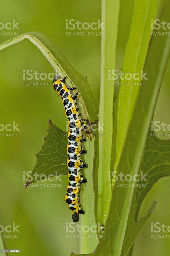 Worm of Cucullia fraterna Butler royalty-free stock photo