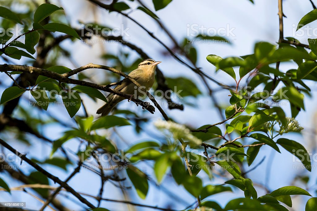 Worm-eating Warbler (Helmitheros vermivora) Perched In a Tree stock photo