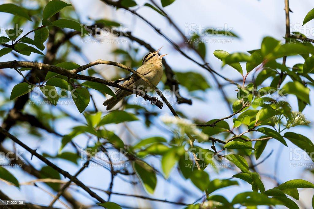Worm-eating Warbler (Helmitheros vermivora) Singing stock photo