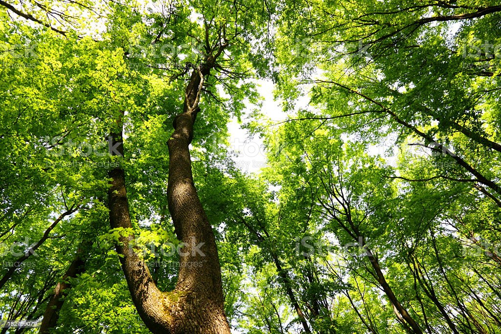 Worm's eye view of deciduous tree canopy royalty-free stock photo