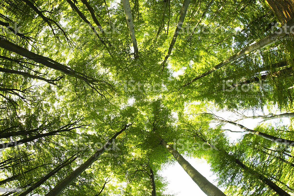 Worm's eye view of the dark forest with tall beech trees stock photo