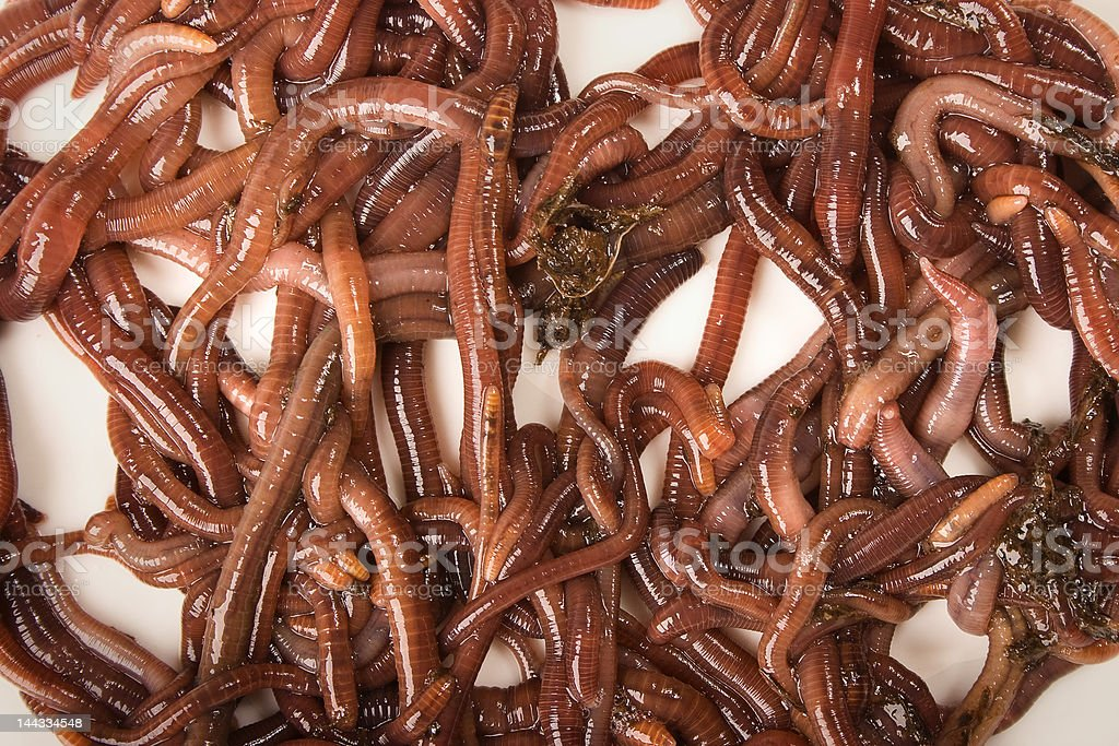 Worms on White Background stock photo
