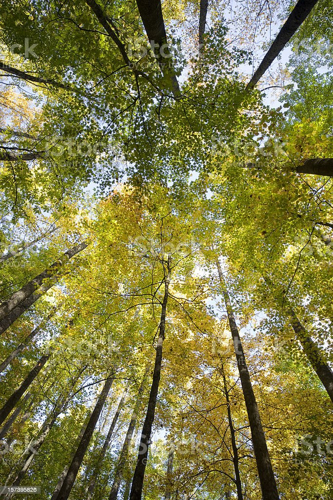 Worm's-eye view of tall tree's in a forest in autumn stock photo