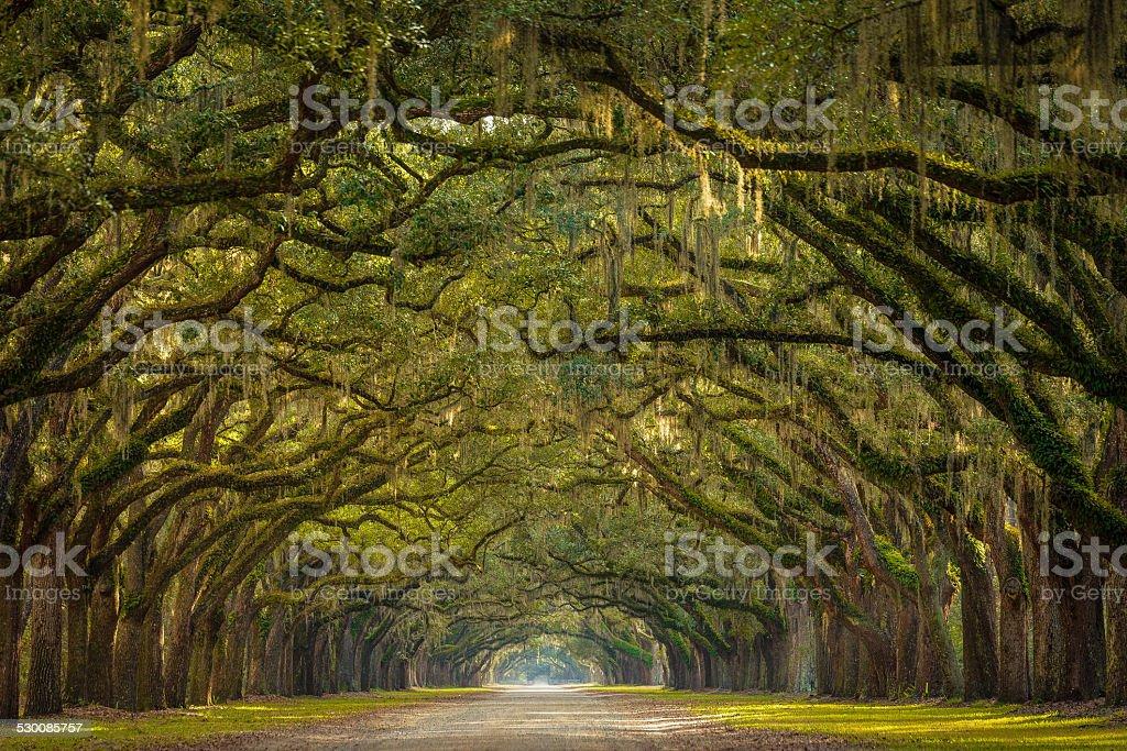 Wormsloe Plantation Oak Trees stock photo