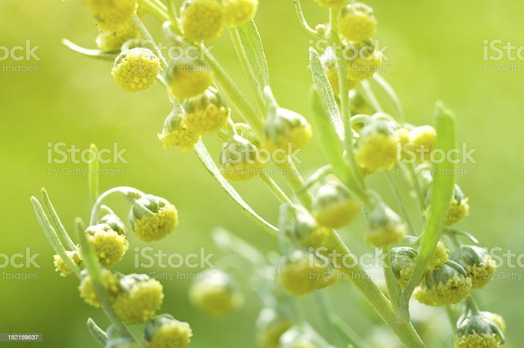 Wormwood Flowers stock photo