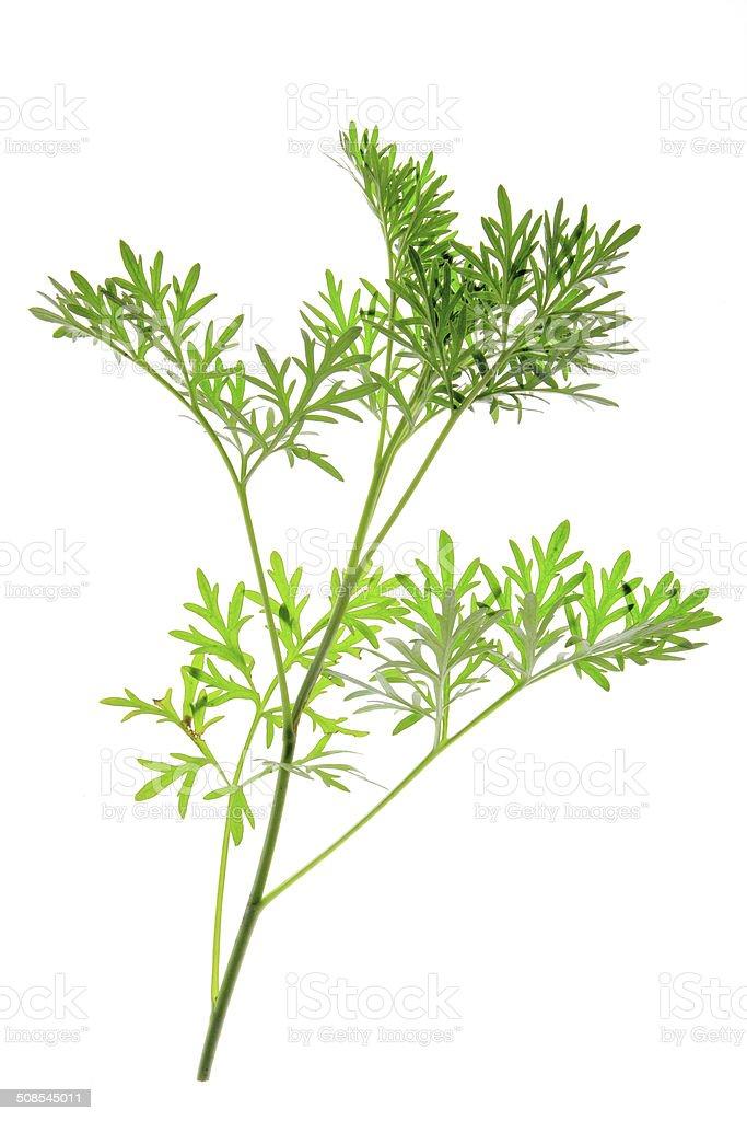 Wormwood (Artemisia absinthium) stock photo