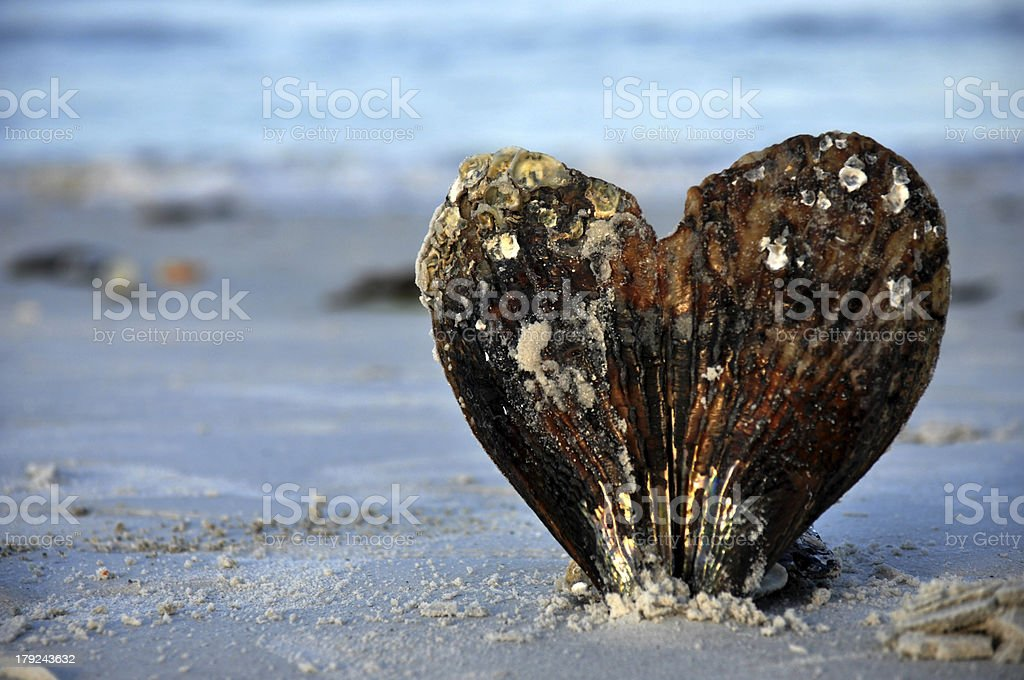 Worn heart shaped shell at the beach. stock photo