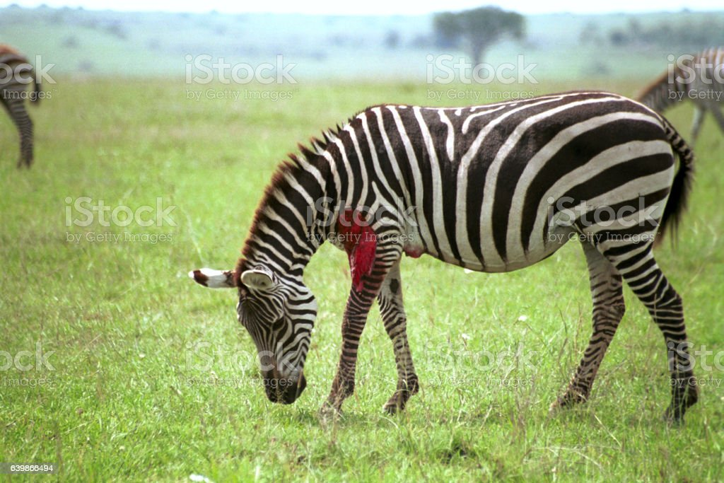 Wounded zebra, Maasai Mara Game Reserve, Kenya stock photo